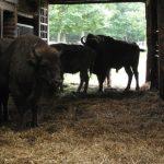 Wildpark Edersee - Bisons