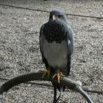 Wildpark Edersee - Roofvogels